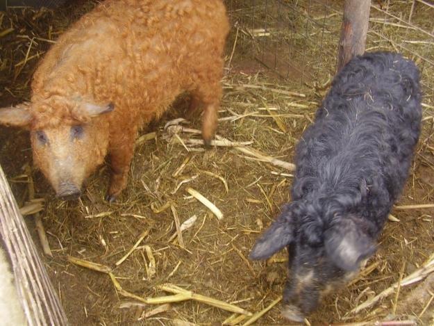 Carnea de mangaliţa, tot mai populară printre românii care vor să mănânce sănătos