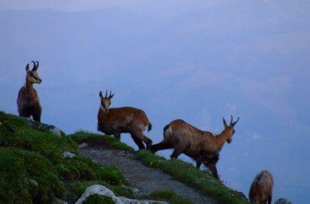 Sezonul de vânătoare a caprelor negre, pe sfârşit