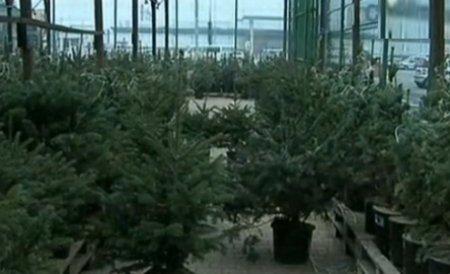 Circa 8.000 de brazi de Crăciun au fost confiscaţi de poliţişti şi silvicultori în luna decembrie