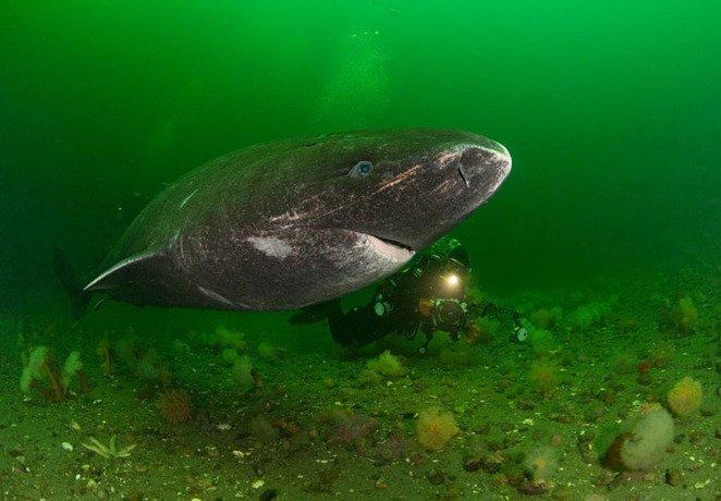 Fotografie rară. Vezi aici cum arată rechinul care atacă urşi polari
