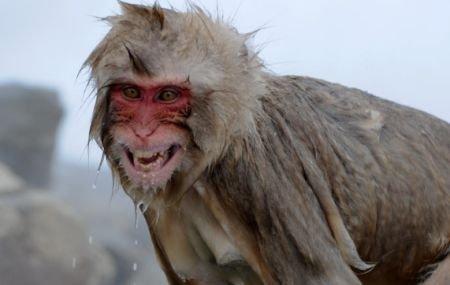 """Maimuţele vesele din Kazahstan. Sunt """"tratate"""" cu vin fiert ca să facă faţă gerului mai bine"""