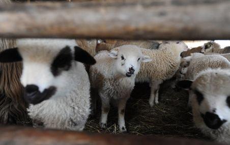 Românii au început să-şi rezerve, on-line, mielul de Paşte