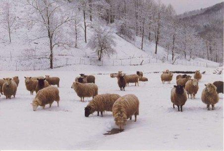 Iaşi: Ciobanii din satul Cozia nu s-au lăsat învinşi de iarnă