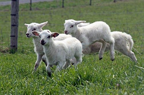 Ciobanii îşi fac socotelile pentru Paşte. Mieii, mai mici şi mai scumpi