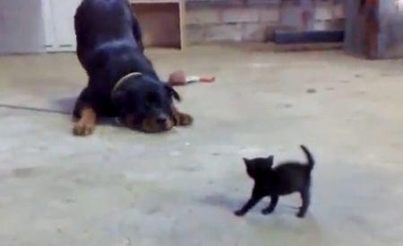 Care e mai curajos: puiul de pisică sau câinele mare şi fioros? Răspunsul te va surprinde