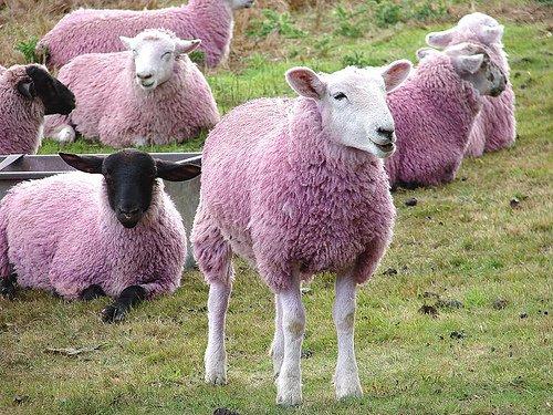 Un cioban din Moldova se laudă cu o turmă de oi roz