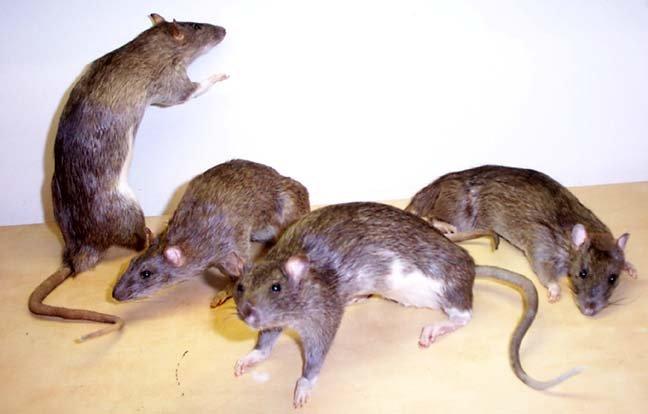 Invazie de şobolani şi ţânţari în Capitală? Vezi ce măsuri iau autorităţile