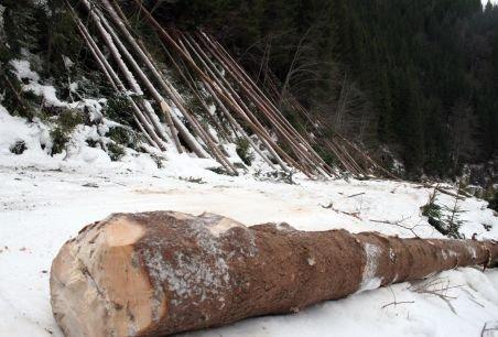 Studiu: Făptaşii fac închisoare în doar cinci cazuri de tăieri ilegale de păduri din 1.000 reclamate penal