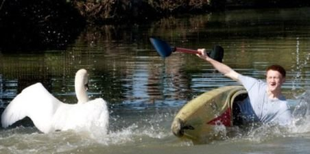 O lebădă irascibilă a îngrozit localnicii din apropierea unui canal din Marea Britanie