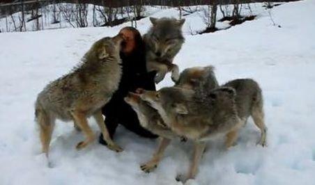 Imagini uimitoare! O haită de lupi s-a năpustit asupra unei femei!