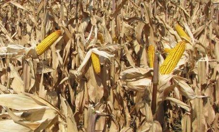 Agricultura, la pământ. 80% din cultura de porumb din Dolj este afectată de secetă, iar un sfert, distrusă în totalitate