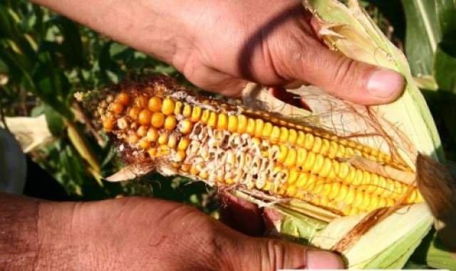 Măsuri speciale pentru salvarea agriculturii. 70% din culturile de porumb şi floarea au fost compromise de secetă