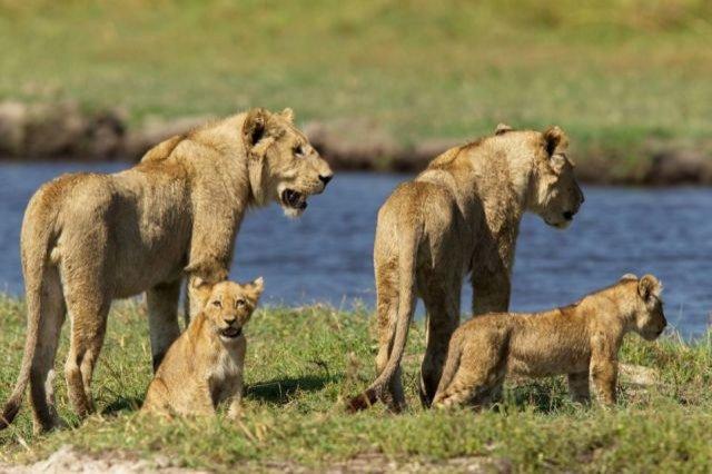Gestul pe care oameni ar trebui să îl înveţe de la această leoaică. Ce a făcut pentru a-şi salva puii
