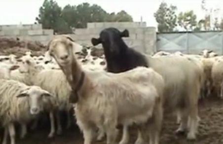 Doi români, arestaţi în Italia după ce au furat 300 de oi