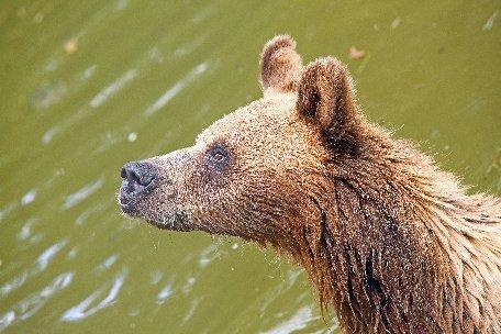 Update: Ursul care a atacat trei persoane în judeţul Dâmboviţa a fost omorât