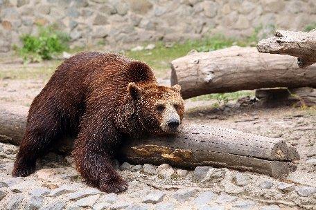 Ursul împuşcat de autorităţi era cel care a atacat trei persoane. Animalul era turbat