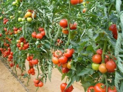 În timp ce pieţele noastre sunt pline de roşii cu gust de plastic, legumele noastre sunt exportate către străini. Ce contract au semnat gălăţenii
