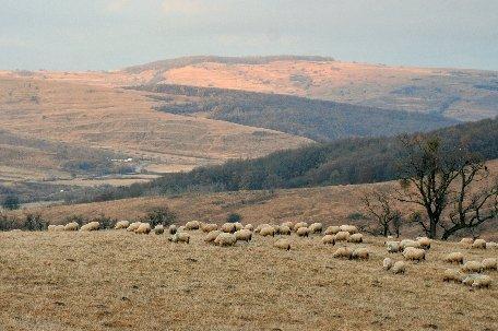 Un cioban este căutat de poliţie, după ce a dispărut cu oile pe care trebuia să le păzească