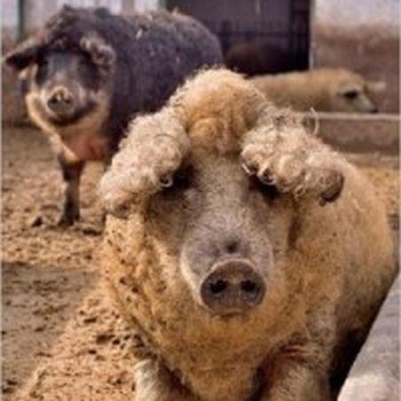 Porcii din rasa Mangaliţa, din nou în graţiile crescătorilor români
