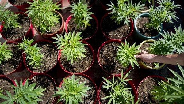 Colorado şi Washington sunt primele state americane care vor legaliza marijuana