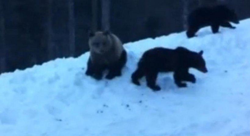 """Un grup de turişti, luat """"ostatic"""" la Cota 1400 de o ursoaică şi puii săi"""