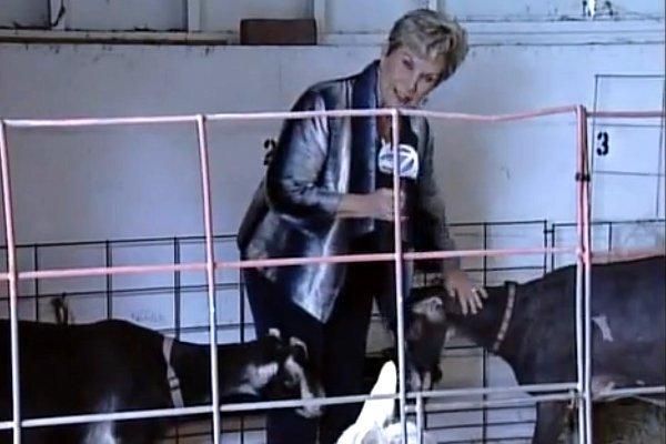 Ce se întâmplă cu o reporteriţă într-un ţarc de capre?
