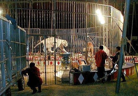 IMAGINI ŞOCANTE surprinse la un spectacol de circ. Un tigru sfâşie în bucăţi dresorul, chiar în mijlocul spectacolului