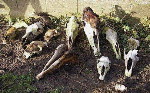 Descoperire macabră în plin scandal european. Peste 60 de cranii de cal, găsite pe un câmp din Satu-Mare