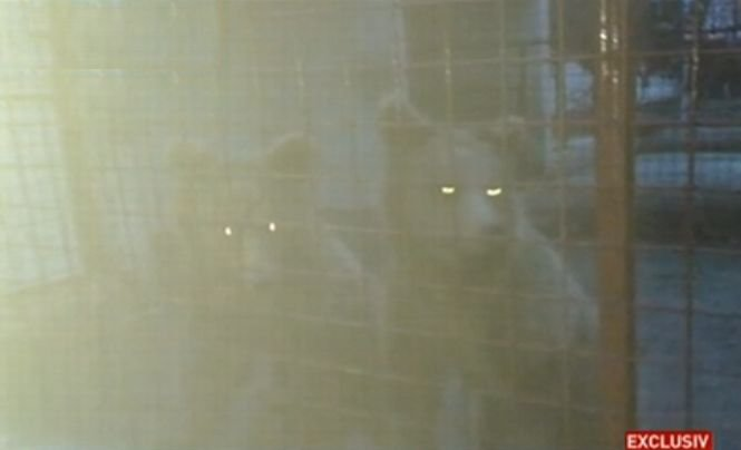 Imagini cu urşii şi leii Cămătarilor. Interlopii îşi intimidau victimele cu animalele sălbatice