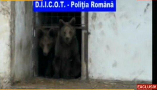 Leii şi urşii fraţilor Cămătaru au fost CONFISCAŢI. Comisarii Gărzii de Mediu susţin că interlopii deţineau în mod ilegal animalele
