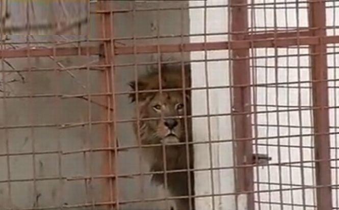 Sile Cămătaru a rămas fără lei. Animalele sălbatice au ajuns la Zoo Bucov