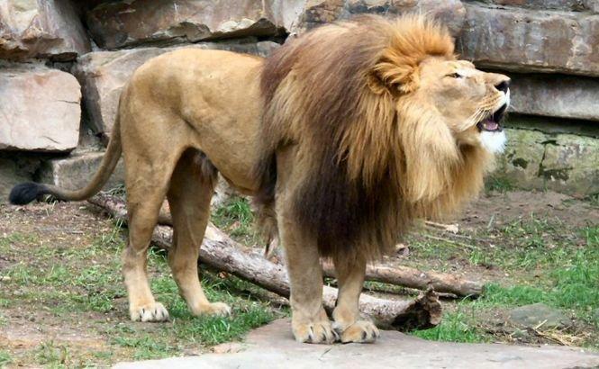 Responsabilul Zoo Rădăuţi, cercetat penal pentru vătămare corporală în cazul fetei rănite de leoaică