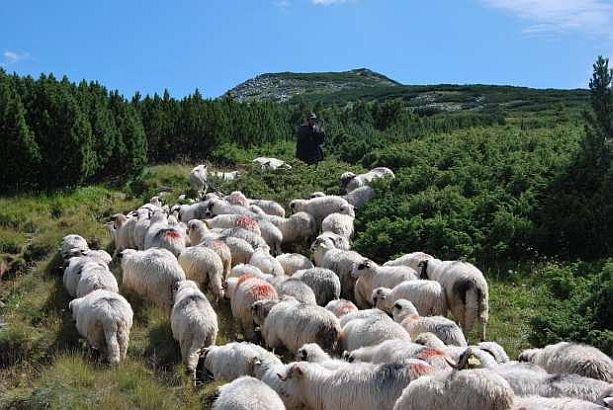 """""""Ciobănaş cu 300 de oi"""". Doi tineri au furat o turmă cu 300 de mioare chiar de la stână"""