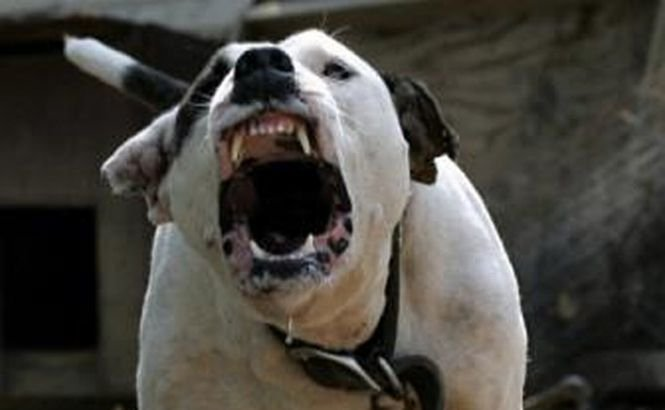 O femeie din California a fost omorâtă de 4 pitbulli