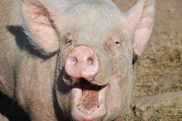 În pas cu tendinţele gastronomice. Tu ai vrea să guşti carne de porc drogat?