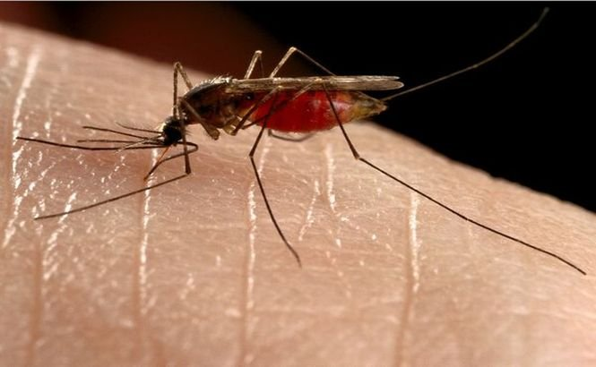 Moscova, sub asediul ţânţarilor care transmit MALARIA