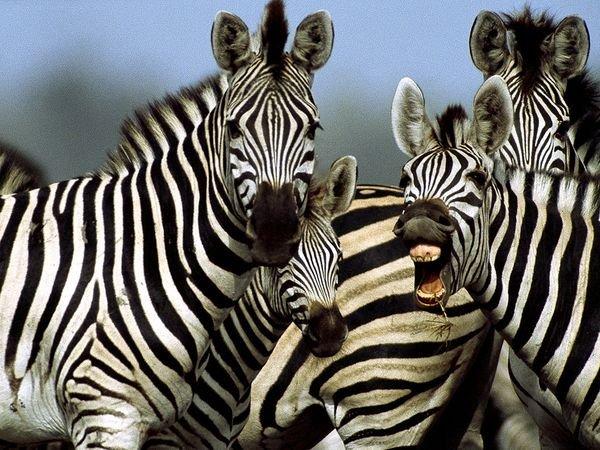 De ce au zebrele dungi? Care este prima explicație susținută și de dovezi concrete