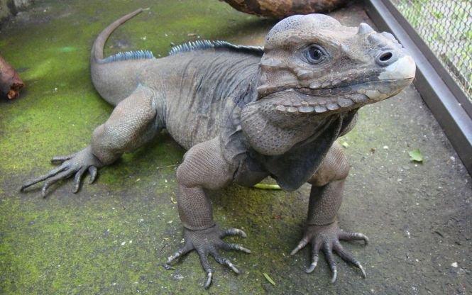 Două românce au fost prinse cu reptile în ciorapi. Iguanele, dintr-o specie extrem de rară