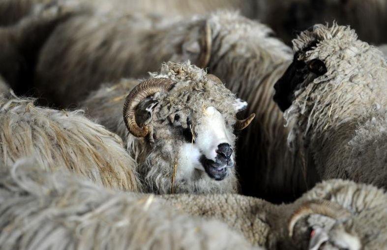 Mormintele dintr-un cimitir din Dej au fost distruse de o turmă de oi