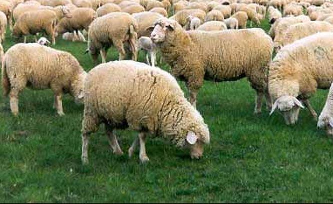 O primărie a cheltuit 300.000 de lei pentru un teren de fotbal pe care pasc oile
