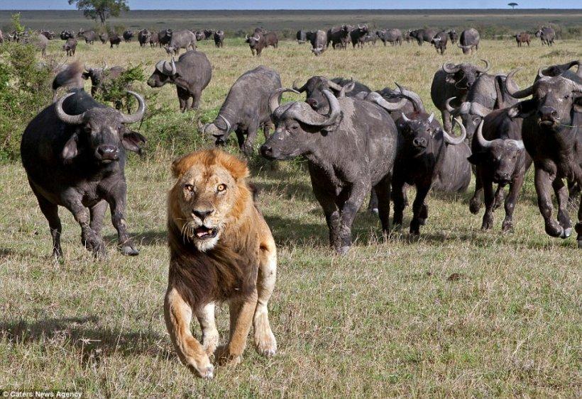 """""""Puteam vedea teama în ochii lui"""". Regele junglei ştie de frică"""