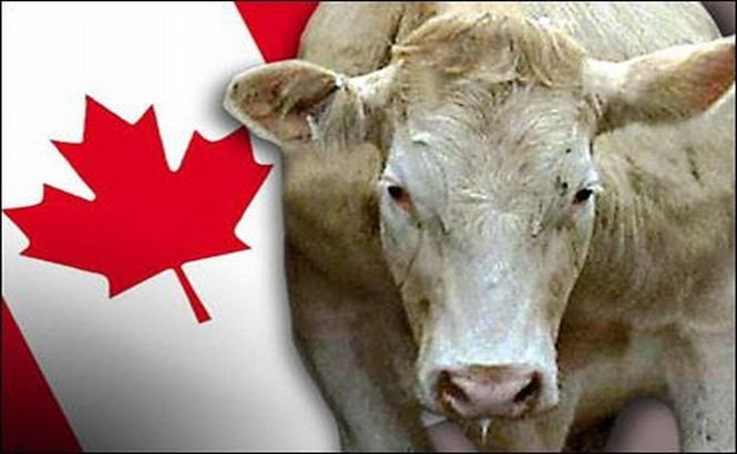 Boala vacii nebune a reapărut în Canada