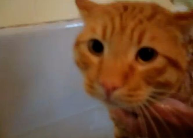 Vei râde cu lacrimi! O pisică îşi iese din minţi atunci când trebuie să facă baie