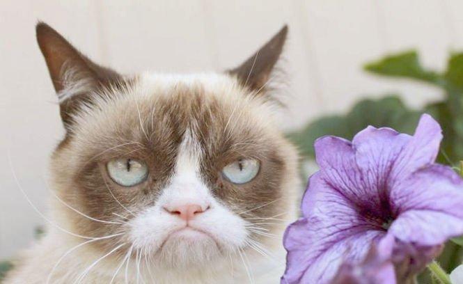 Ce mai face Grumpy Cat, cea mai morocănoasă pisică din lume