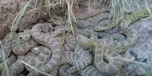 VIDEO. Cum este să fii atacat de un cuib de şerpi-cu-clopoţei