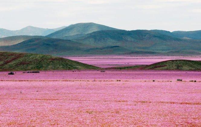 Minune naturală: Una dintre cele mai aride zone de pe glob a fost acoperită de un imens covor de flori