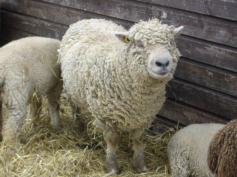 Oile de Popăuţi, rasa care ar putea revoluţiona sectorul alimentar
