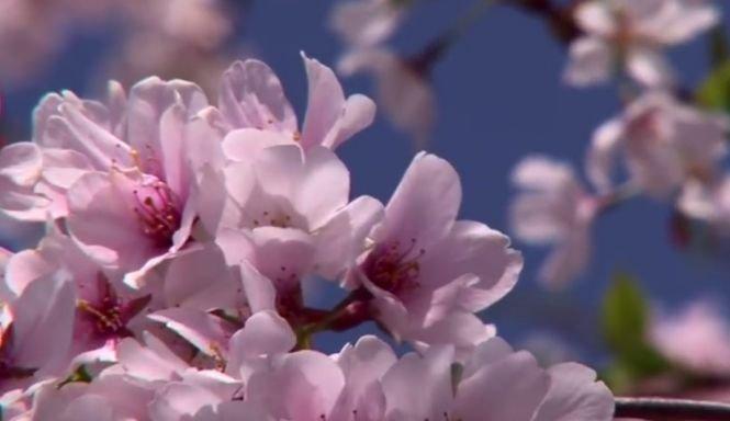 Natura face spectacol la Washington. Au înflorit cireşii, la început de iarnă