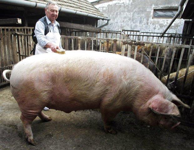 Porc de 150 de kilograme, pârlit cu acord de la ISU