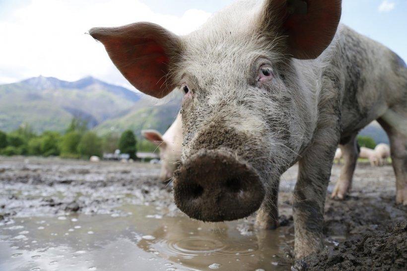 Românii continuă tradiţia cu sacrificarea porcilor, în ciuda normelor europene